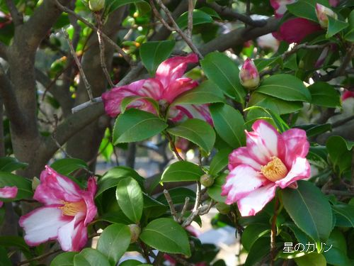 山茶花(鎌倉絞り)1