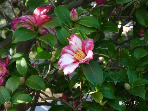山茶花(鎌倉絞り)2