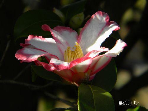 山茶花(鎌倉絞り)3