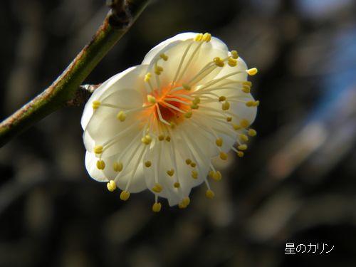梅 八重咲き玉牡丹3