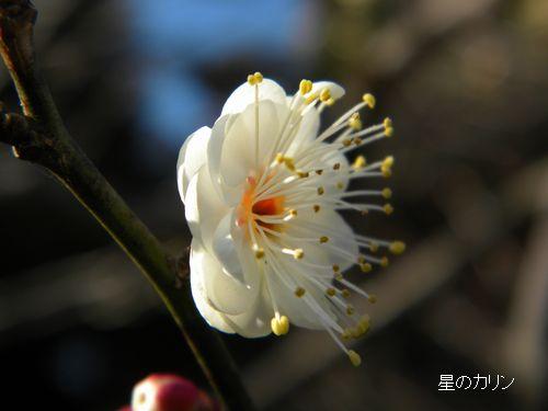 梅 八重咲き玉牡丹4