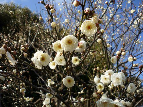 梅 八重咲き玉牡丹1