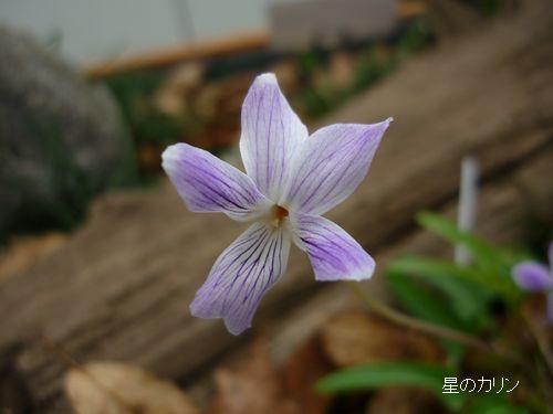 琉球白スミレ3