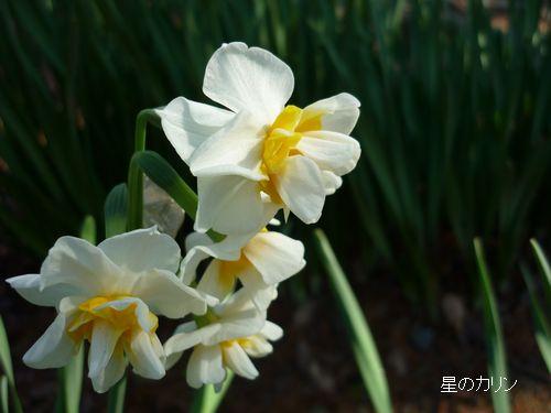八重咲き水仙3
