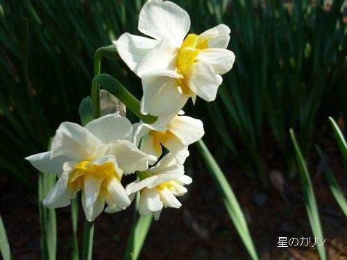 八重咲き水仙1