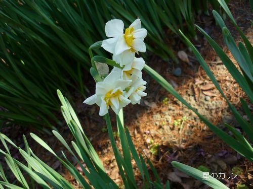 八重咲き水仙4