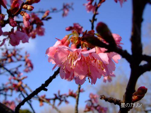 おかめ桜2