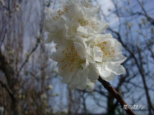花桃 関白2