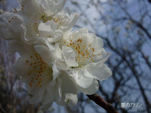 花桃 関白1