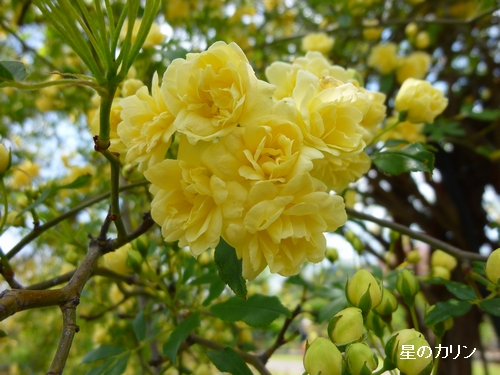 木香薔薇4