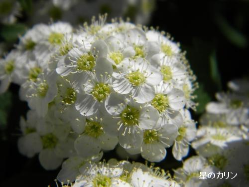 白花下野4