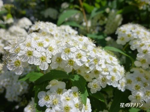 白花下野2