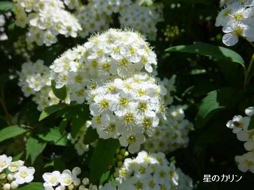 白花下野1