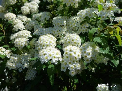 白花下野3