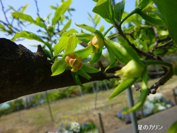 ろうやがき 老鴉柿2