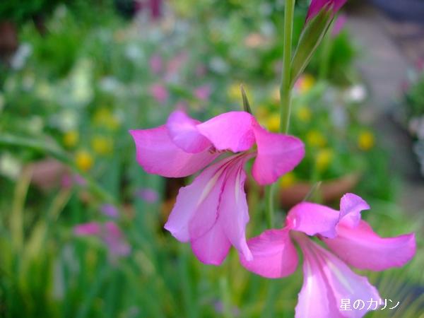 gladiolus imbricatus2