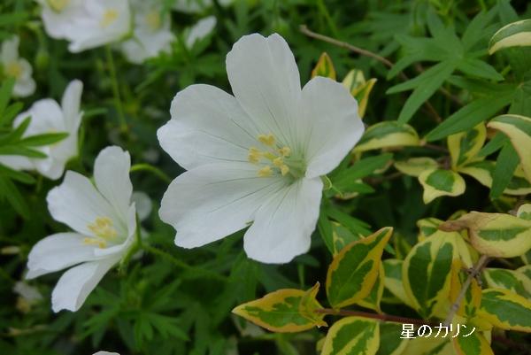 白花あけぼのふうろ2