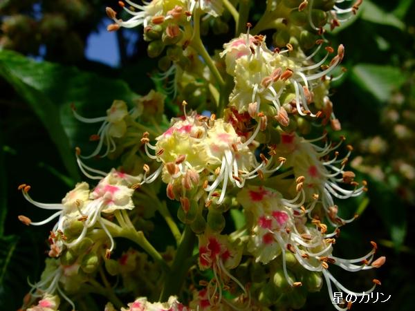 トチノキの花2