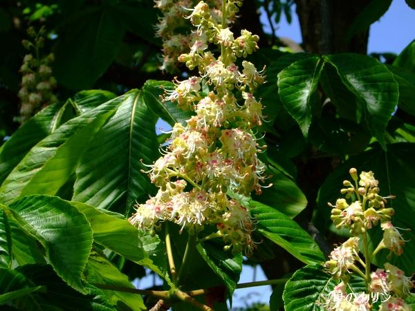 トチノキの花1
