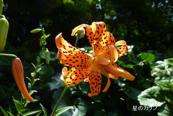 八重咲きオニユリ1