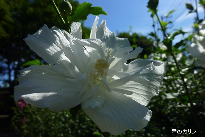 木槿 白花笠3