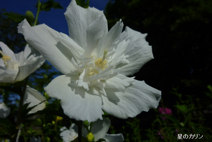 木槿 白花笠1