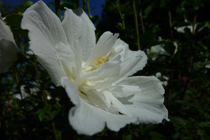 木槿 白花笠2