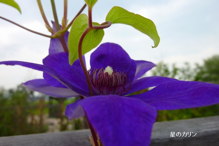 クレマチス 江戸紫2