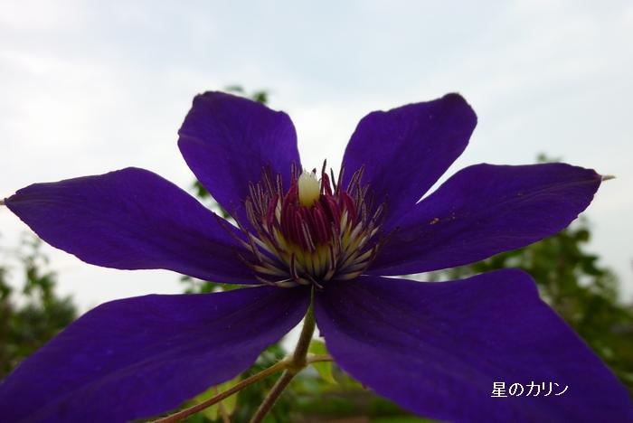 クレマチス 江戸紫1