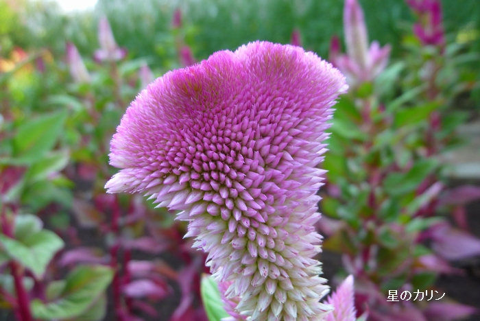 鶏頭の花1