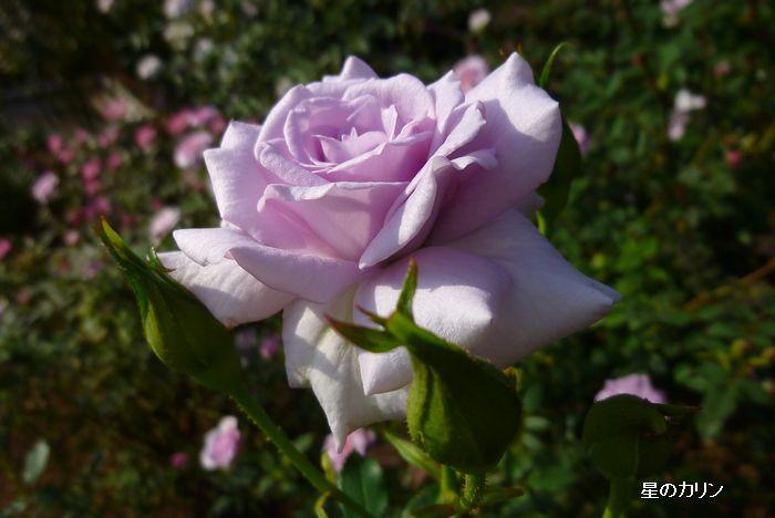 薔薇の海2