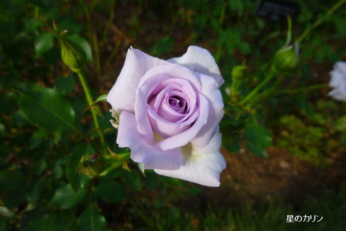 薔薇の海3
