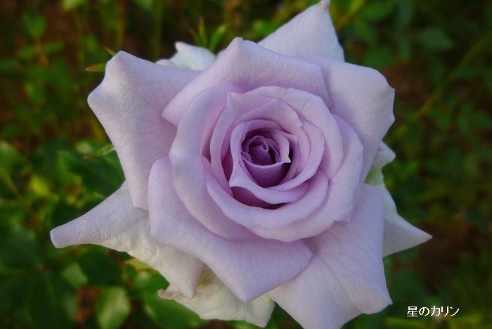 薔薇の海1
