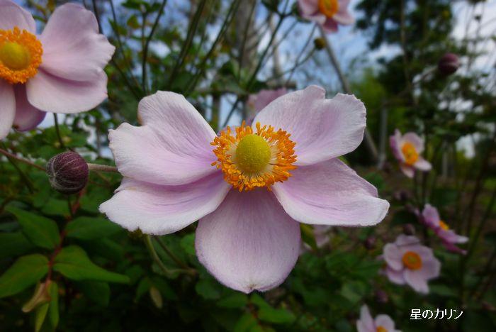 秋明菊 ピンク1