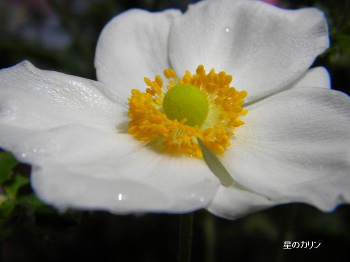 秋明菊 白1