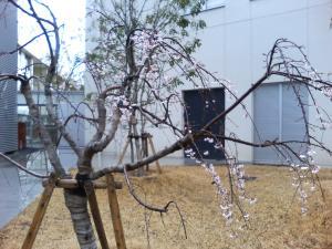 24日 桜