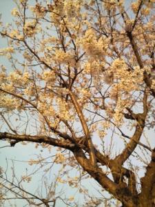 3.30.桜