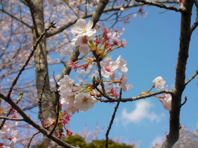 桜川のサクラ5