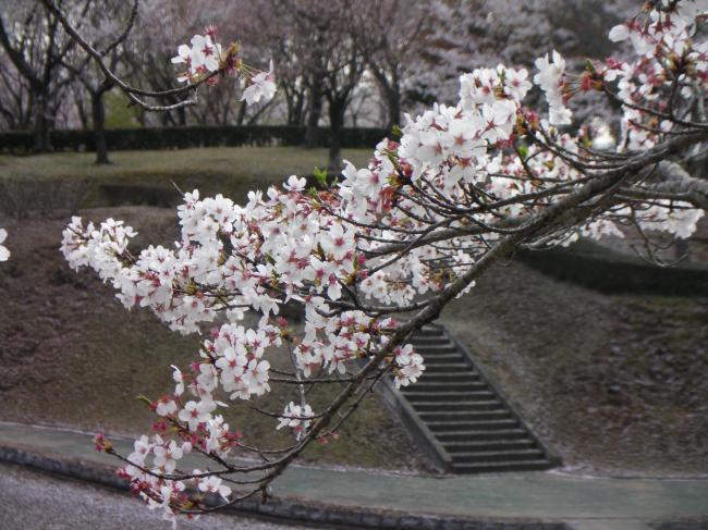 桜川のサクラ4