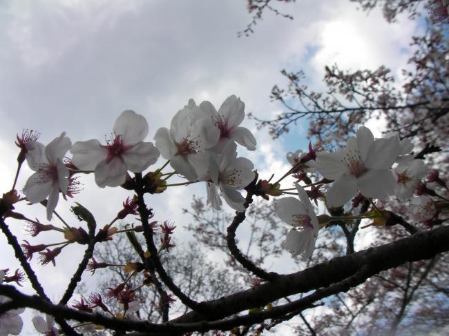 桜川のサクラ3