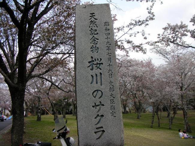 桜川のサクラ1