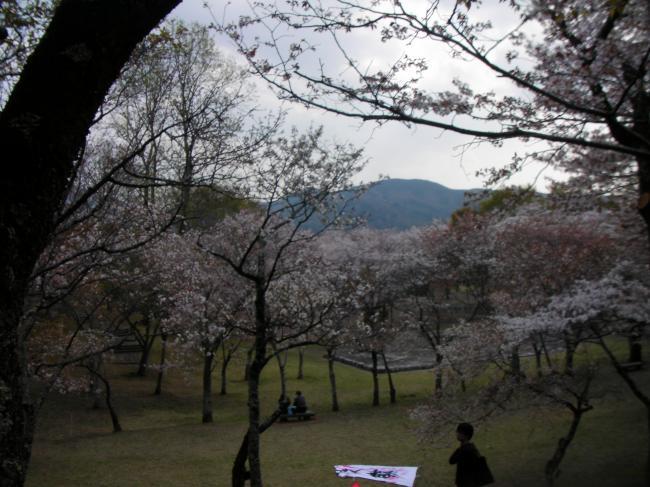 桜川のサクラ2