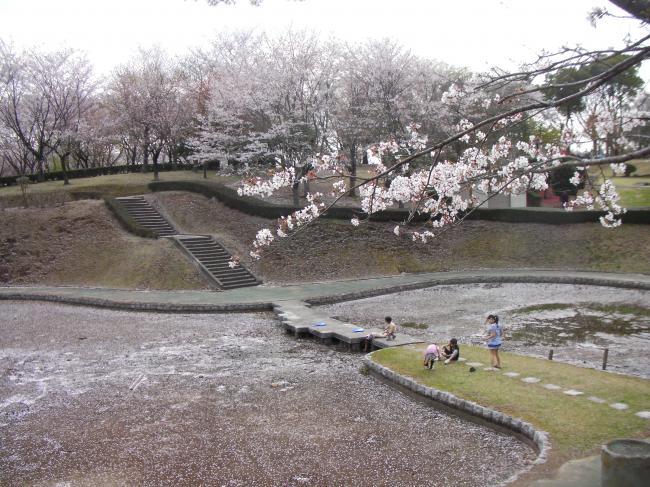 桜川のサクラ7