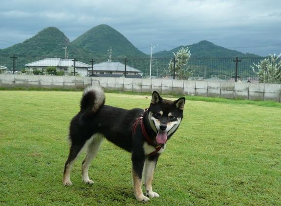 そーいえば、日本初の柴犬の警察犬が誕生しましたねっ♪