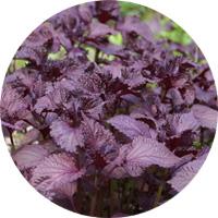 赤紫蘇の葉