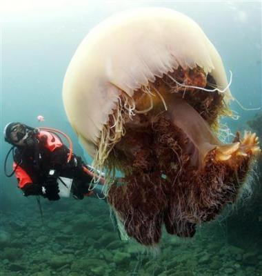 巨大な体でゆらゆらと海中を漂い、漁網を破るなど漁業に甚大な被害をもたらす「」