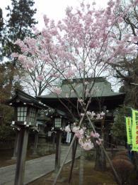 神代曙桜満開です。。