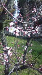 梅がやっと咲きました。。