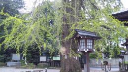大公孫樹の春