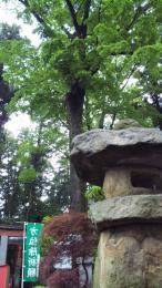 石灯籠とケヤキ